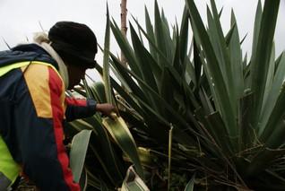 Plastic ban raises hopes for Kenya's sisal farmers
