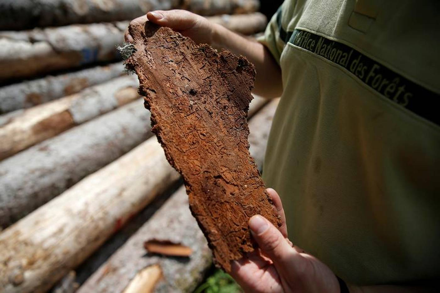 French forests scarred as heatwaves bring bark beetle ...