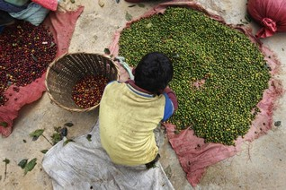 EU urged to draft law on child labour, deforestation in coffee and cocoa