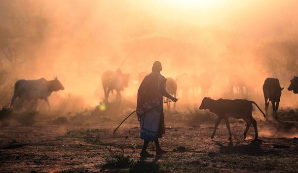 A Masai herder walks with grazing cattle during a celebration of an initiation ceremony in the remote village of Eremit, some 80 km (50 miles) southwest of Nairobi, on November 24, 2012. REUTERS/Goran Tomasevic