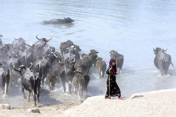 An Iraqi girl herds water buffaloes in the Euphrates river in Najaf, south of Baghdad, Iraq, March 6, 2014. REUTERS/Alaa Al-Marjani