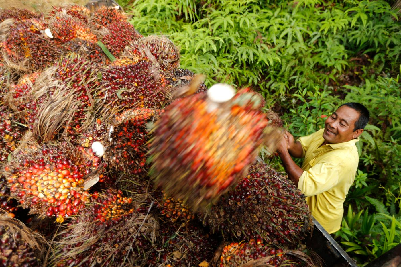 oil palm in malaysia The palm oil industry is a key contributor to the gdp of malaysia in 2018, it is expected to contribute about rm 80 billion the palm oil refining industry continues to be the workhorse of the industry but is faced with low or negative margins.