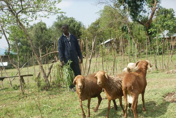 Farmer Joshua Amolo Omolo keeps fast-maturing red Maasai sheep on his farm in Obinju, in Kenya's Nyakach District, as part of his efforts to adapt to climate change. THOMSON REUTERS FOUNDATION/Geoffrey Kamadi