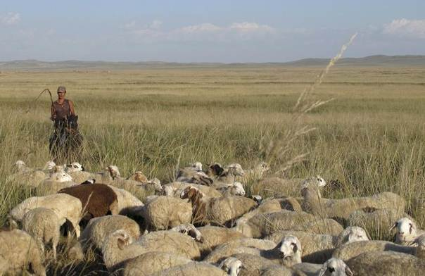 An ethnic Mongol herds a flock of sheep on the grasslands of the northern Chinese region of Inner Mongolia, Sept. 6, 2012. REUTERS/Ben Blanchard