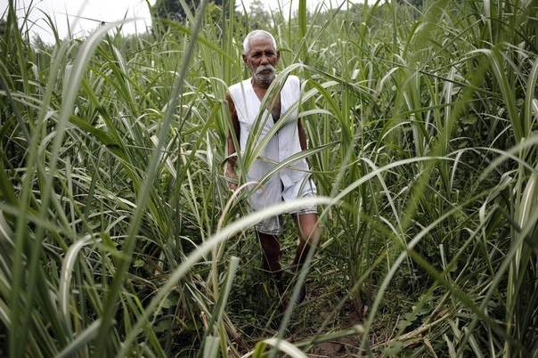 Farmer Nakli Singh, 68, walks in his sugarcane field in Shamli, in the northern Indian state of Uttar Pradesh, July 19, 2014. REUTERS/Anindito Mukherjee