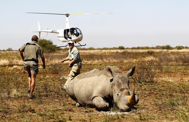 File photo shows rangers leaving after tagging a rhino with