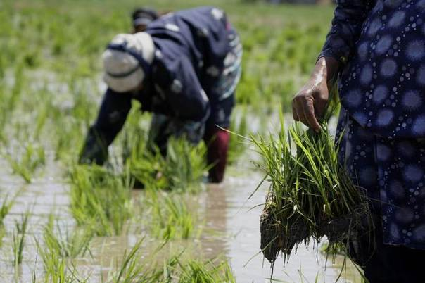 This May 28, 2008 file photo shows labourers transplanting rice seedlings in a paddy field in the Nile Delta town of Kafr Al-Sheikh, north of Cairo. REUTERS/Nasser Nuri