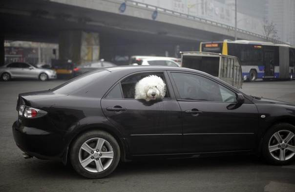 A dog looks out from a car on a busy street amid heavy haze in central Beijing, Feb. 21, 2014. REUTERS/Barry Huang