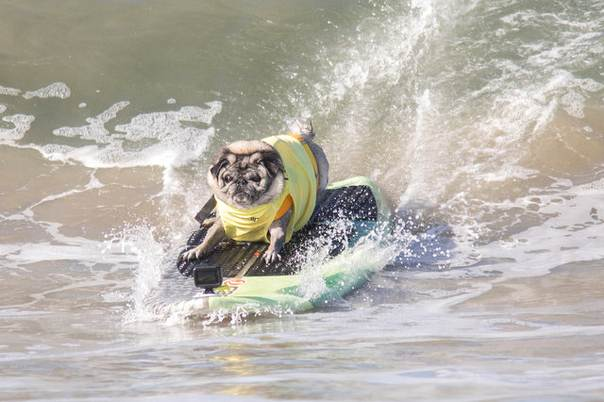 A Dog Named Brandy The Pug Catches A Wave During The Surf City - Brandy the award winning surfing pug