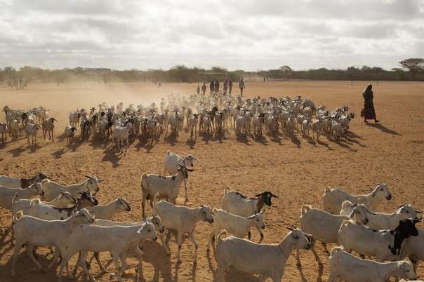 Herders move livestock to a grazing ground early in the morning near Dagahale, a refugee settlement in Dadaab, Garissa County, northeast Kenya. Picture October 9, 2013, REUTERS/Siegfried Modola