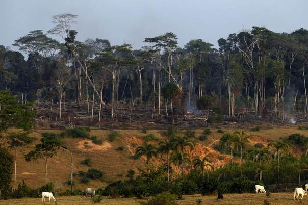 Cows graze near a burnt forest after deforestation along the Interoceanic highway section linking Peru and Brazil in the Amazon region of Madre de Dios, Aug. 19, 2010. REUTERS/Mariana Bazo