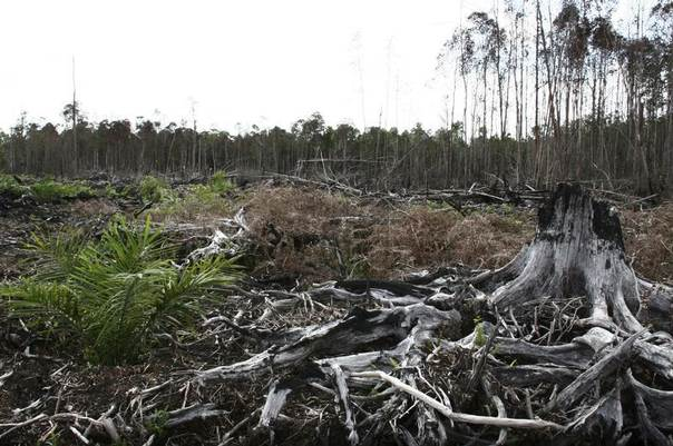 An oil palm stands beside a burned tree in a peatland area managed by PT Kallista Allam at Kuala Tripa in Nagan Raya, Indonesia's Aceh province, Dec.  20, 2011. REUTERS/Roni Bintang