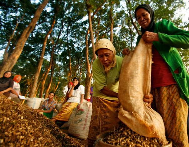 Women in Jepara teak forest area harvest ground nuts, in Central Java, Indonesia. Photo credit: CIFOR/Murdani Usman