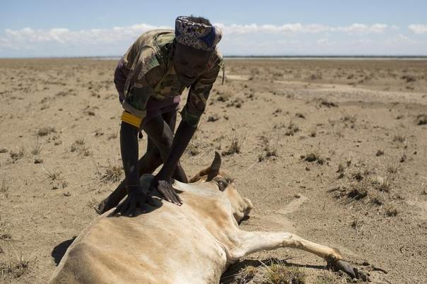 A Dhaasanac man from southern Ethiopia inspects a cow which is dying of hunger, a few hundred metres from the official Kenya-Ethiopia border in northwestern Kenya, Oct. 13, 2013. REUTERS/Siegfried Modola