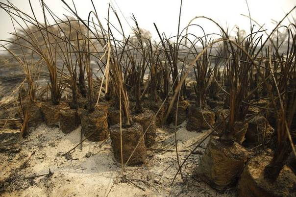 Burnt palm oil plants are seen at a palm oil plantation, in a haze hit Dumai, in Indonesia's Riau province June 21, 2013. REUTERS/Beawiharta