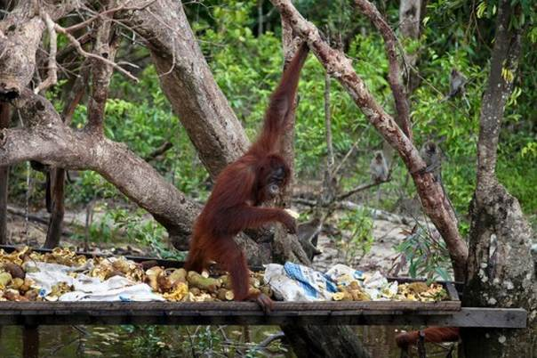 """Reshaping international policies that protect both great apes and the livelihoods of people living alongside them are critical to finding a positive outcome for both,"""" says Terry Sunderland, a senior scientist with the Center for International Forestry Research. Picture Credit: Terry Sunderland"""