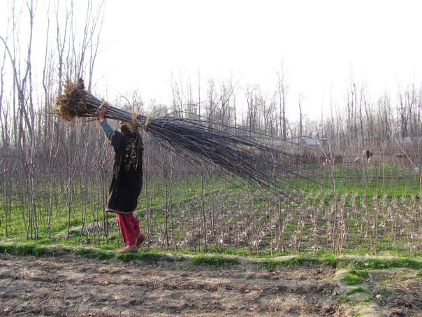A woman carries a load of apple seedlings through orchards in Kashmir. THOMSON REUTERS FOUNDATION/Athar Parvaiz