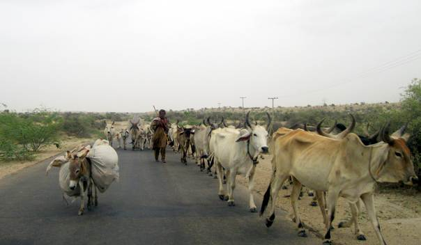 A man leads his cattle out of the drought-hit Tharparker district in southern Pakistan to a barrage areas in northern Sindh province. THOMSON REUTERS FOUNDATION/Saleem Shaikh