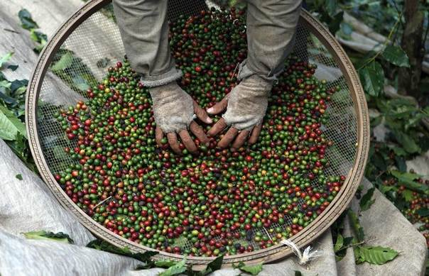 A worker selects coffee beans from coffee plants during harvest at a farm in Espirito Santo do Pinhal, 200 km (124 miles) east of Sao Paulo, Brazil, May 18, 2012. REUTERS/Nacho Doce