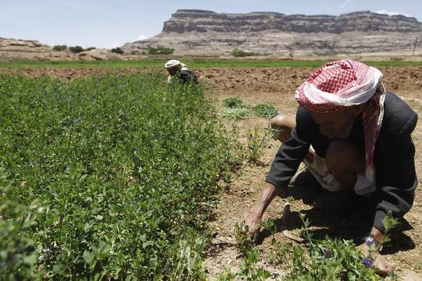 A farmer harvests feed on the outskirts of Sanaa April 18, 2014. REUTERS/Mohamed al-Sayaghi