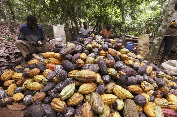 Farmers sit by a pile of cocoa pods at a farm in San Pedro, western Ivory Coast, Aug. 12, 2010. REUTERS/Luc Gnago