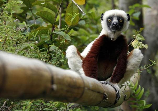 A Coquerel's Sifaka lemur sits on a bamboo inside the Lemurs Park, a private eco-tourism enterprise which hosts 9 of 49 known lemur species, 22 km (14 miles) from Antananarivo, Madagascar,  December 2006. REUTERS/Radu Sigheti