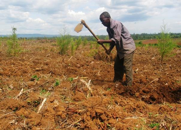 Farmer Isaac Ambani tends his land, also planted with young trees, near western Kenya's Kakamega forest. TRF/Pius Sawa