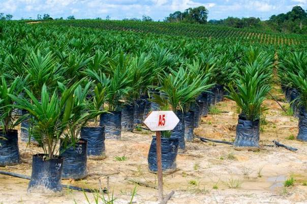 The growing demand for edible oils domestically and internationally has created conditions in which Indonesia has become the global leader in terms of cumulative area of oil palm plantations and Crude Palm Oil production. Photo courtesy of CIFOR/Yayan Indriatmoko