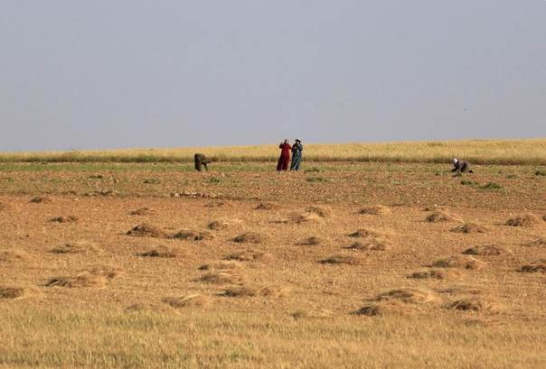 Syrian farmers work in a wheat field in the Idlib countryside, May 12, 2014. REUTERS/Khalil Ashawi