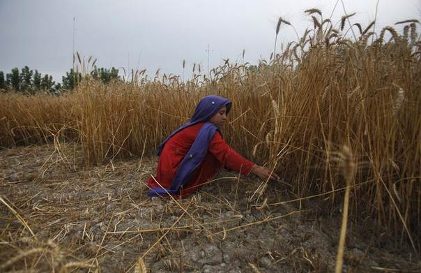 A girl harvests wheat at a field on the outskirts of Peshawar May 16, 2014. REUTERS/Fayaz Aziz