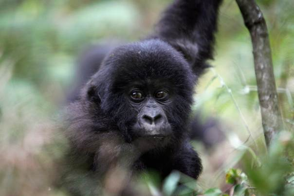 In a 2010 file photo, a young mountain gorilla from the Kabirizi family sits in Virunga National Park, just north of the eastern Congolese city of Goma, August 19, 2010. REUTERS/Finbarr O'Reilly