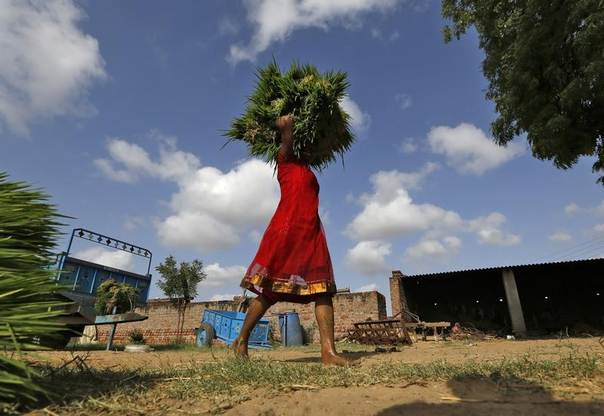 A labourer carries saplings to plant in a paddy field on the outskirts of the western Indian city of Ahmedabad, July 10, 2014. REUTERS/Amit Dave