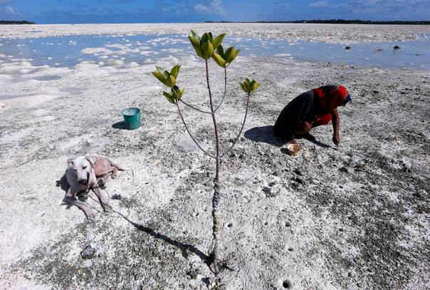 A dog sits in the shade of a mangrove tree as a woman uses a fork to dig for shellfish on the reef-mud flats of a lagoon located at South Tarawa in the central Pacific island nation of Kiribati on May 23, 2013. REUTERS/David Gray