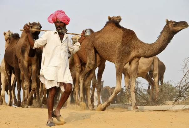 A trader herds his camels at Pushkar Fair in the desert Indian state of Rajasthan. Picture taken November 2013. REUTERS/Stringer