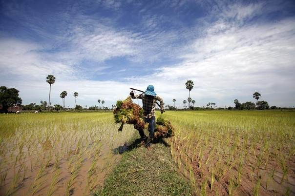 A farmer carries rice seedlings in a paddy field on the outskirts of Phnom Penh, Cambodia, July 11, 2013. REUTERS/Samrang Pring