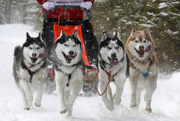 Siberian Huskies Pull A Contestant During The Kara Dag 2016 Open