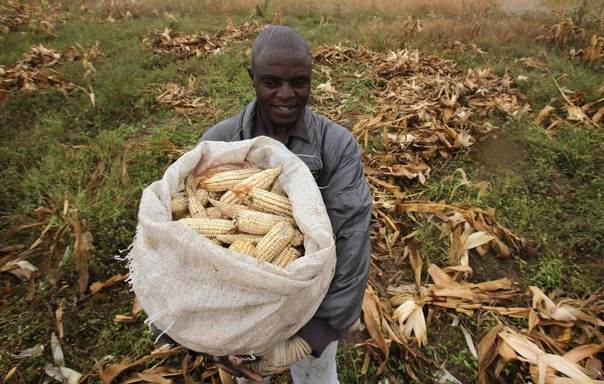 A Zimbabwean man, Tendai Rafemoyo, harvests maize from a field in a peri-urban suburb of Mabvuku in Harare, April 10, 2014. REUTERS/Philimon Bulawayo