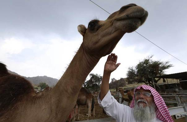 A man checks a camel at a farm in Taif June 7, 2014 REUTERS/Mohamed Alhwaity