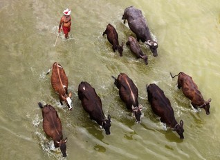 A man herds his cattle in the river Ganga on a hot summer day in Allahabad, India