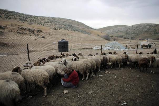 A family member of Palestinian shepherd Mahmoud Ka'abneh tends to sheep at Ein el Hilwe in the Jordan Valley, a hotly contested part of the occupied West Bank. Picture taken February 15, 2014. REUTERS/Ammar Awad