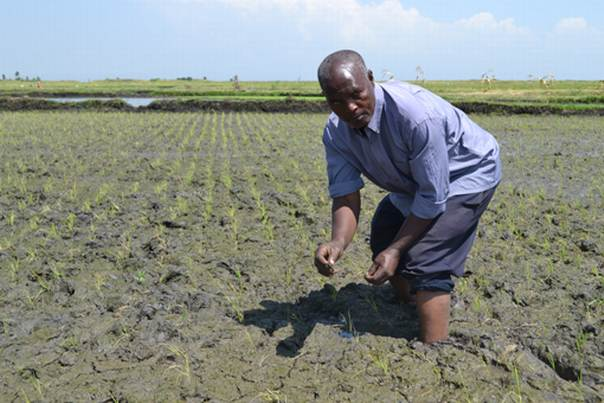 Moses Kareithi Mwangi works on his rice paddy in Mwea, Kenya. The system of rice intensification discourages flooding the paddy throughout the season, and encourages wider spacing of seedlings. ALERTNET/Isaiah Esipisu