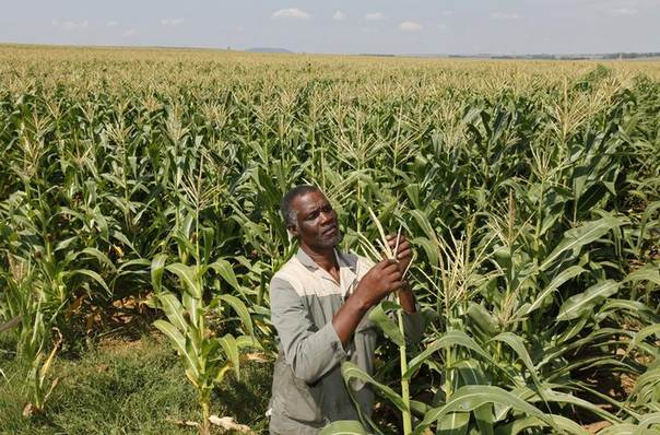 In this 2012 file photo, Koos Mthimkhulu inspects his crop at his farm in Senekal, South Africa REUTERS/Siphiwe Sibeko