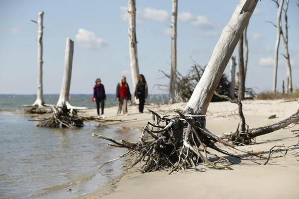 Women walk through a coastal ghost forest believed to be caused by sea level rise on Assateague Island in Virginia, United States, Oct. 25, 2013. REUTERS/Kevin Lamarque