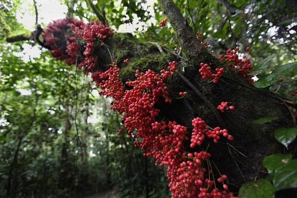 Berries are seen on the trunk of a tree in Korup National Park, Cameroon, June 9, 2012. REUTERS/Emmanuel Braun