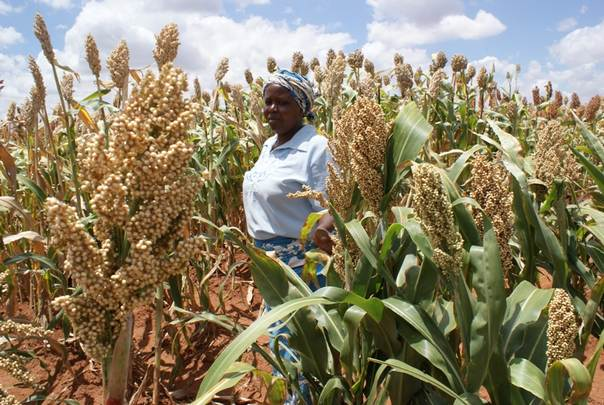 A Kenyan farmer inspects her millet crop. TRF/David Njagi