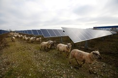 Sheep are herded at a photovoltaic power plant in Allonnes near Le Mans