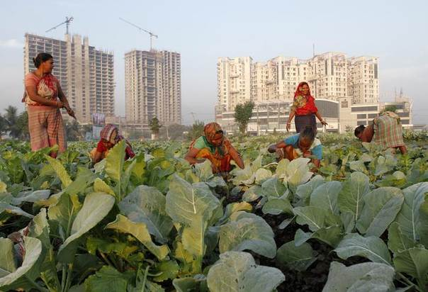 Women work in a cauliflower field in Kolkata, eastern India. Picture November 28, 2013, REUTERS/Rupak De Chowdhuri