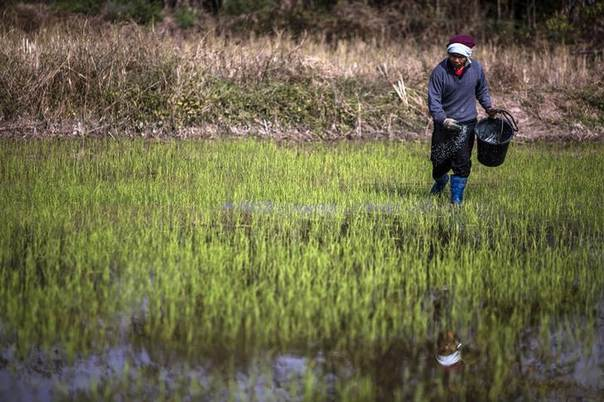 Chokchai Maneesuk, 48, a farmer, works at his rice field, in the northeastern province of Udon Thani January 22, 2014. REUTERS/ Nir Elias