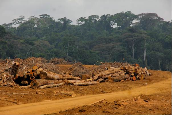 Forest is cleared to make way for an oil palm plantation at Talangaye in Cameroon's southwest. PHOTO/Ministry of Forestry and Wildlife
