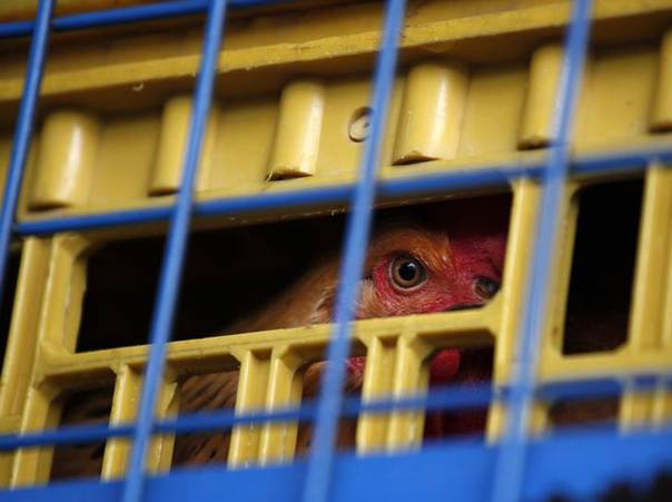 A chicken is seen inside a cage on a truck from mainland China at a border checkpoint in Hong Kong April 11, 2013. REUTERS/Bobby Yip